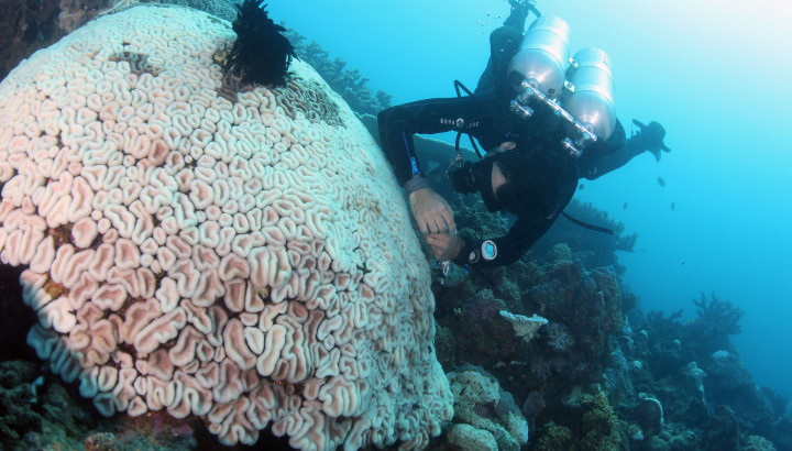Pedro Frade samples a polyp of a completely bleached Lobophyllia coral colony in the shallows.